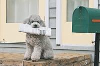新聞を銜えるトイプードル 犬
