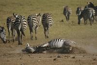 ケニア マサイマラ国立保護区 グラントシマウマの砂浴び