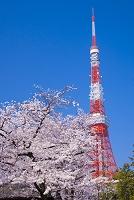 東京都 芝公園 桜