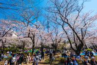 東京都 隅田公園 花見