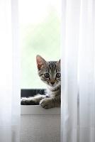 窓辺の白いカーテンと子猫