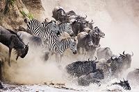 ケニア 川を渡るシマウマとヌー