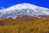 静岡県 カラマツ黄葉と富士山 須走口登山道より撮影