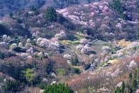 長野県 陸郷の山桜(桜仙峡)と山並み