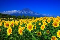 山梨県 富士山とひまわり