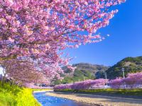 日本 静岡県 河津川沿い 河津桜