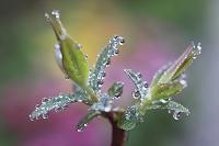 キンシバイの新芽