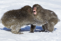 ニホンザルの喧嘩