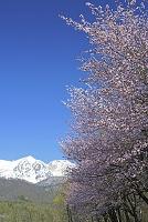 長野県 桜と白馬鑓ヶ岳左と杓子岳右の山