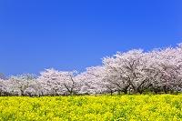 東京都 昭和記念公園の桜と菜の花