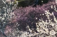 西日に照り返る筑波山梅林公園の梅の木々