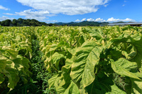 島根県 タバコ畑と夏空
