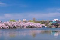 東京都 不忍池と桜並木
