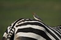 ケニア マサイマラ国立保護区 ウシツツキとグラントシマウマ