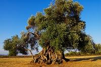 イタリア シリークア オリーブの木