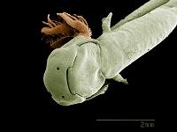 サンショウウオの幼生 顕微鏡写真