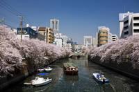 神奈川県 横浜大岡川と桜