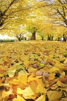 愛知県 祖父江の銀杏並樹と落ち葉とぎんなん