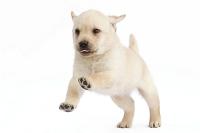 前足を上げるラブラドールの子犬