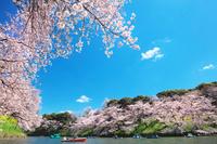 東京都 千鳥が淵の桜