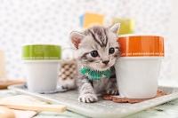 アメリカンショートヘアの子猫