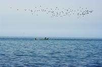 北海道 沖の漁に群れる海鳥