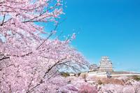 兵庫県 姫路市 姫路城 桜