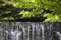 大阪府 新緑のモミジと滝