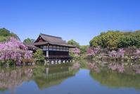 京都 平安神宮 神苑の桜