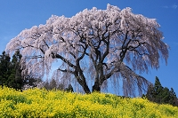 福島県 芹ヶ沢桜