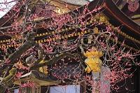 京都府 北野天満宮 紅梅と本殿