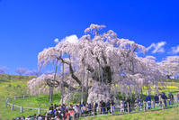 福島県 桜の咲く三春の滝桜