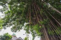 インドネシア ガジュマルの巨木