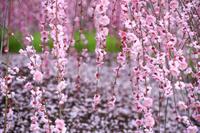 鈴鹿の森庭園 枝垂れ梅