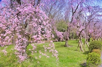 京都府 桜の二条城