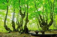 秋田県 獅子ケ鼻湿原 奇形巨木ブナ あがりこ大王