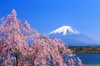 山梨県 桜咲く精進湖より富士山