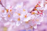 東京都 桜の花