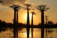 マダガスカル モロンダバ バオバブの木