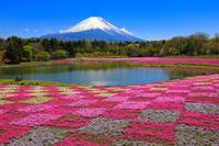 山梨県 富士芝桜まつり 竜神池の芝桜と富士山