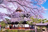 京都府 桜の咲く建仁寺