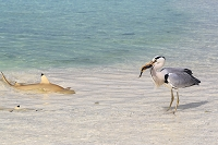 モルディブ共和国 ラスドゥ環礁 エサをとるクロサギとブラック...