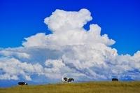 長野県 美ヶ原高原 乳牛