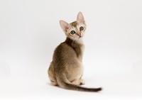 シンガープーラ 子猫