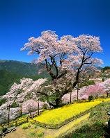 高知県 菜の花とひょうたん桜