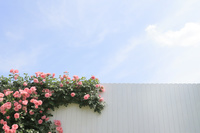 白壁につたうバラと爽やかな青空