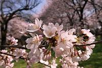 春爛漫の桜の花