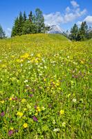 アルプス山脈の草花畑