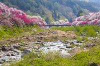 長野県 花桃咲く月川温泉