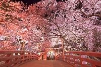 長野県 高遠城址公園 桜雲橋夜桜